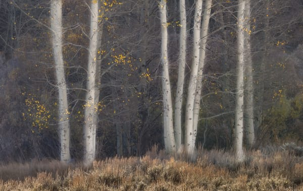 A simple but elegant composition of the bare trunks of Aspens as the first morning light touches them.