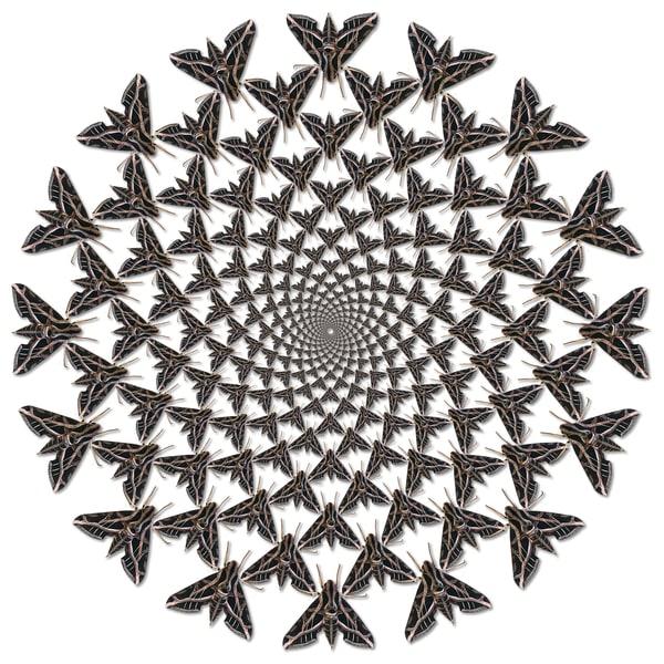Sphinx Moth Spiral Art   geometricphotographica