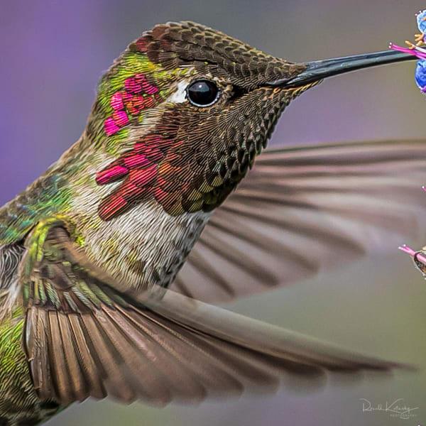 A Detailed Portrait of Anna's Hummingbird