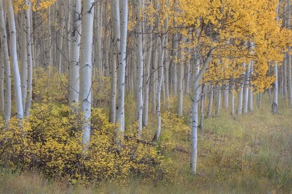 Aspen forest composition by landscape photographer Charlotte Gibb