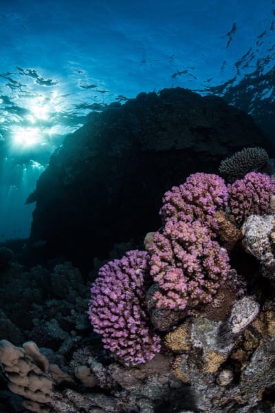 Pink Coral at Sunset is an underwater photograph available as a fine art print for sale