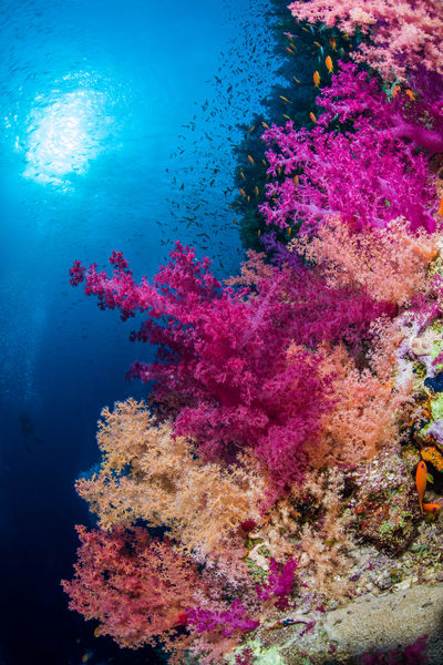 Fifty Shades of Pink is an underwater photograph of soft corals available for sale.