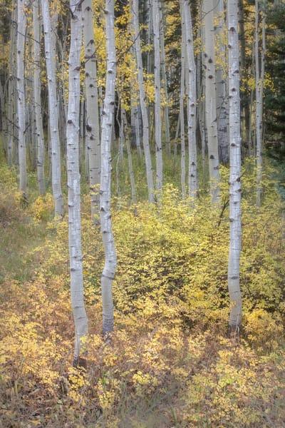 Aspen grove, Southwest Colorado, by Intimate Landscape Photograher Charlotte Gibb