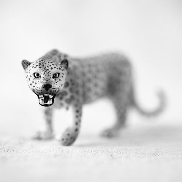 Leopard Photography Art | Roman Coia Photographer