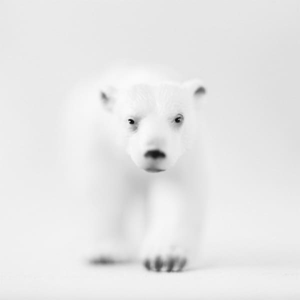 Polar Bear Photography Art | Roman Coia Photographer