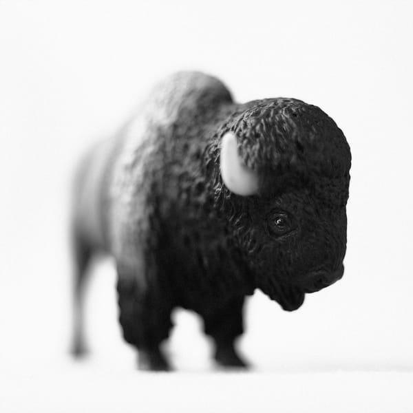 American Buffalo Photography Art | Roman Coia Photographer