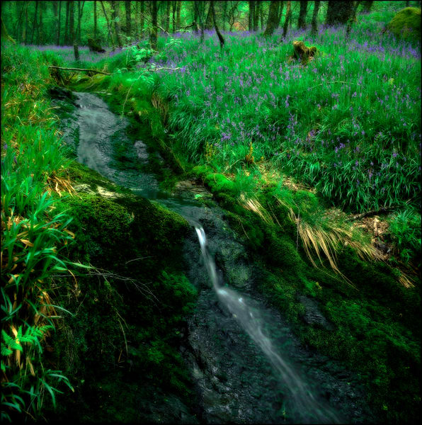 Stream & Bluebells, Scotland
