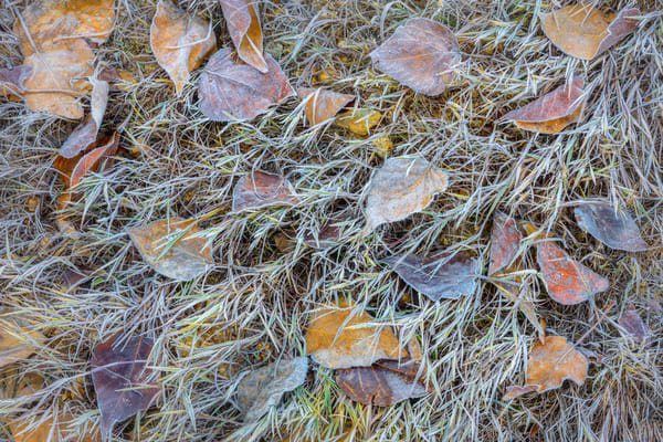 Autumn leaves covered with frost in Yosemite Valley.