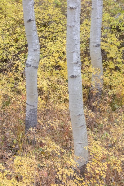 Intimate Landscape elegant abstraction of an Aspen Grove