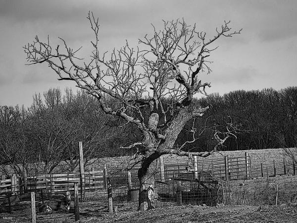 JSalvo-Farmer-Oak-Tree