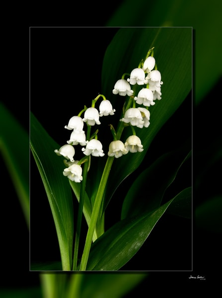 Lilly Of The Valley V 3 D Photography Art | Whispering Impressions