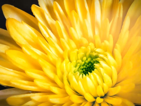 Yellow Flower Photography Art | Studio 221 Photography
