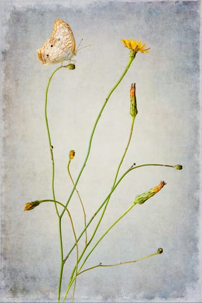 Dandelion And Company Photography Art | Doug Landreth Photography