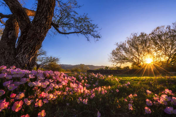 Desert Wildflowers At Sunrise Photography Art | Carol Brooks Parker Fine Art Photography