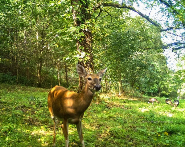 Deer On Trail Cam Photography Art | N2 the Woods Photography