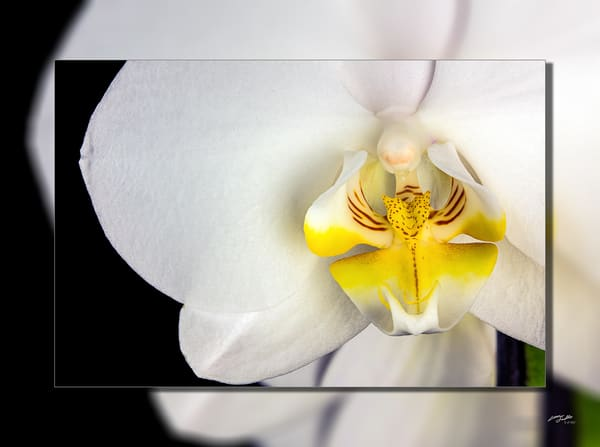 Orchid White Closeup 3 D Photography Art | Whispering Impressions
