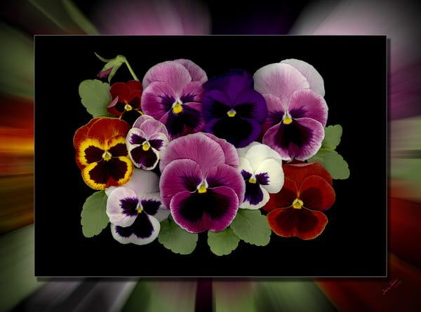Pansy Bunch 3 D Photography Art | Whispering Impressions