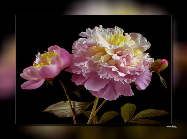 Peonie Pink 3 D Photography Art   Whispering Impressions