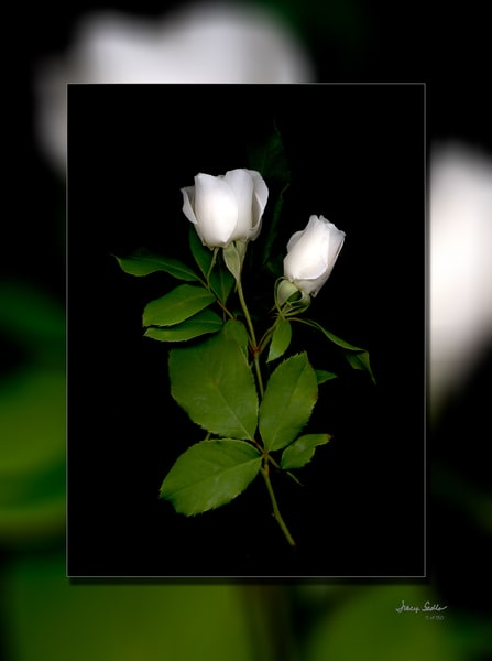 Rose White Bud Duo 3 D Photography Art | Whispering Impressions