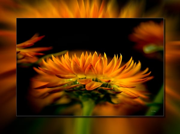 Strawflower 3 D Photography Art | Whispering Impressions