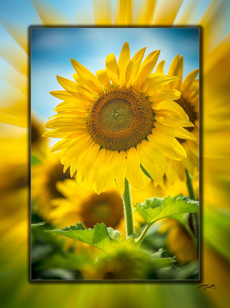 Sunflower V 3 D Photography Art | Whispering Impressions