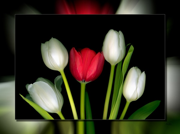 Tulips 1 Red 3 D Photography Art | Whispering Impressions