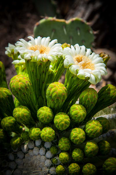 Saguaro Bloom Heart  Photography Art | Whispering Impressions