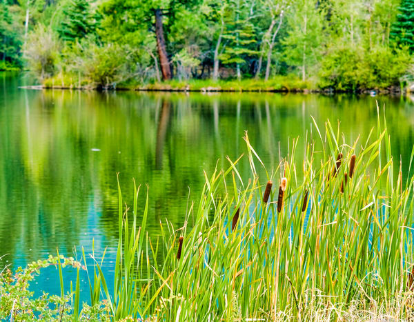 Spring Cattails | Nature Art Photography