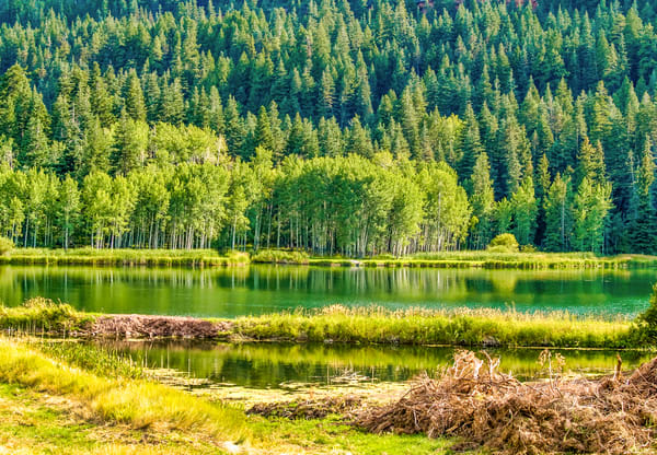 Lush Pines And Aspens | Nature Art Photography