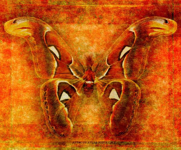 Attacus Atlas Moth Photography Art | Doug Landreth Photography