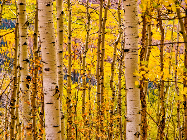 Colorado Autumn Color | Nature Art Photography