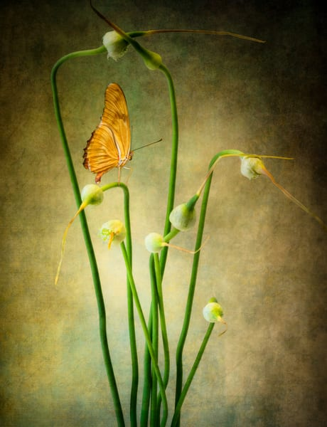 Buds, a portrait of garlic scapes and a butterfly