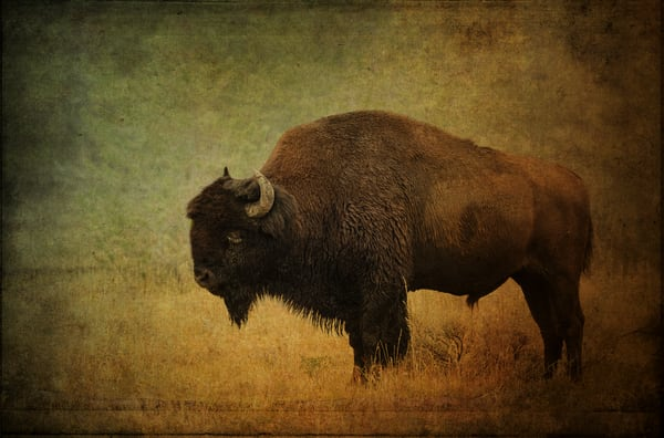 Buffalo At Yellowstone Photography Art | Doug Landreth Photography