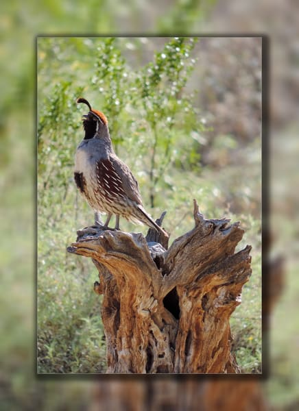 Quail   Male Singing 3 D Photography Art | Whispering Impressions