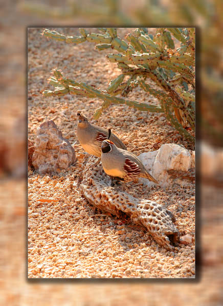 Quail   Pair 3 D Photography Art | Whispering Impressions