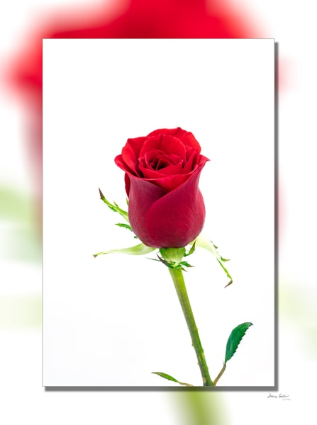 Red Rose Stem White 3 D Photography Art | Whispering Impressions