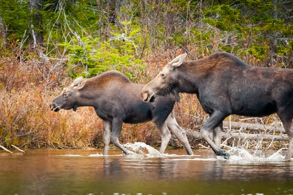 Moose Race Photography Art | Monteux Gallery