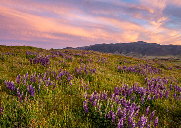 Lupine Mountain Sunset Photography Art | Josh Kimball Photography