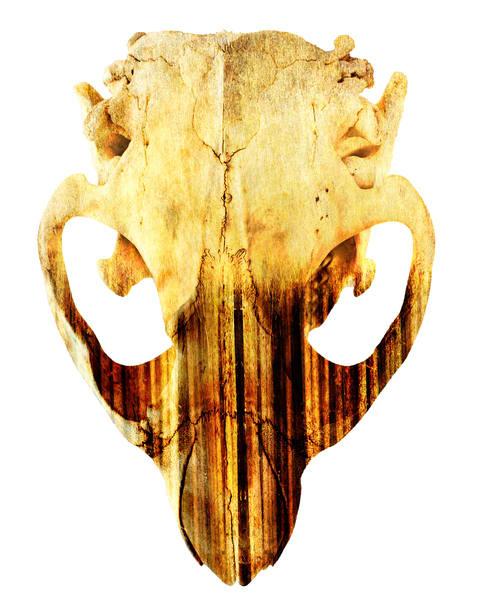 Beaver Skull, by Laura Grisamore