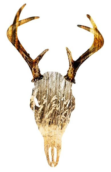 Deer Skull, by Laura Grisamore
