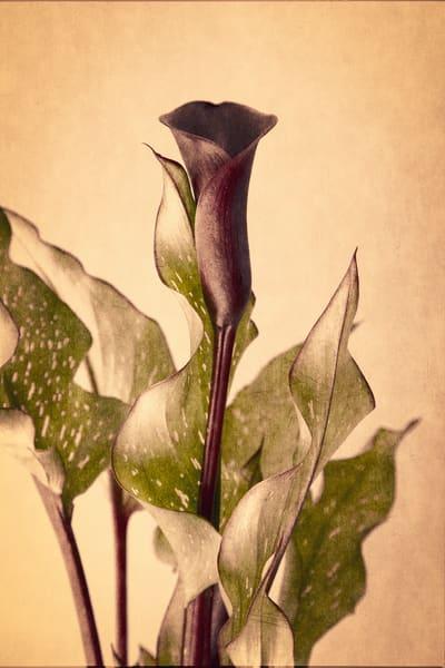 Black Lily Photography Art | Doug Landreth Photography