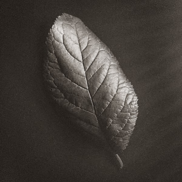 Leaf Study Ii Photography Art | Roman Coia Photographer