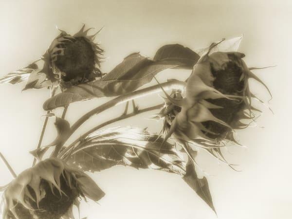 Msp Sunflowers Cw02 Photography Art   Mark Steele Photography Inc