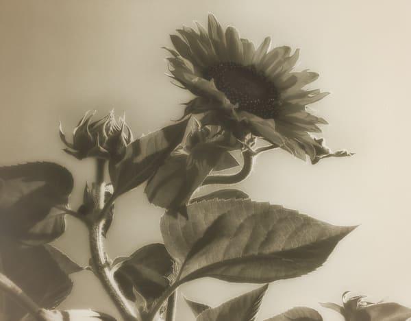 Msp Sunflowers Cw05 Photography Art   Mark Steele Photography Inc