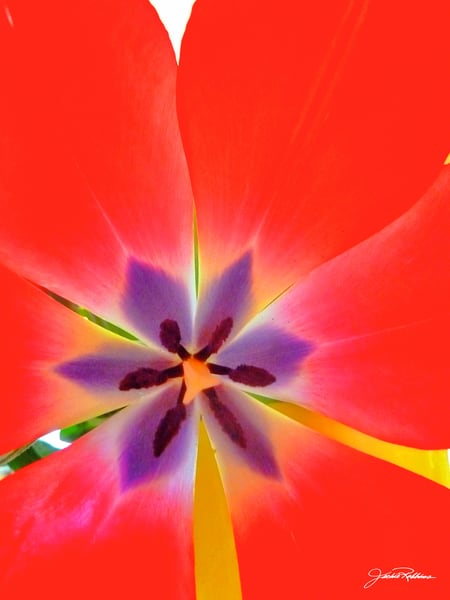 Perfect Pallette Photographic Print Tulip