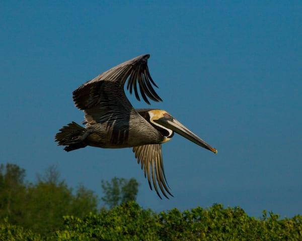 Pelican In Flight Photography Art | It's Your World - Enjoy!