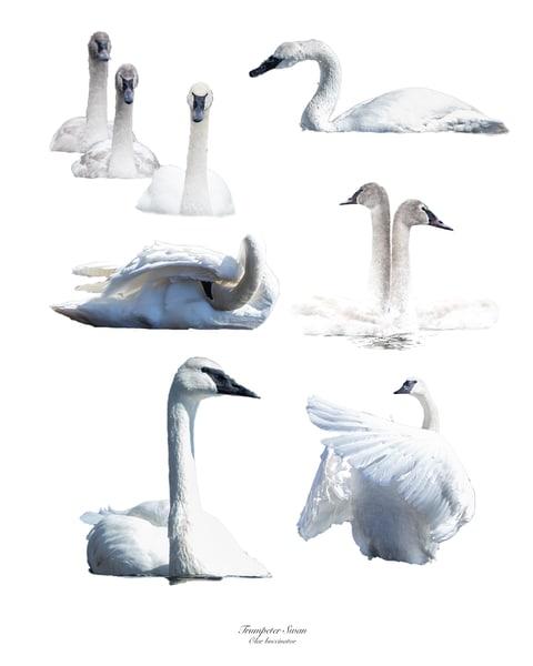 Swan Composite Photography Art | offleashphotography
