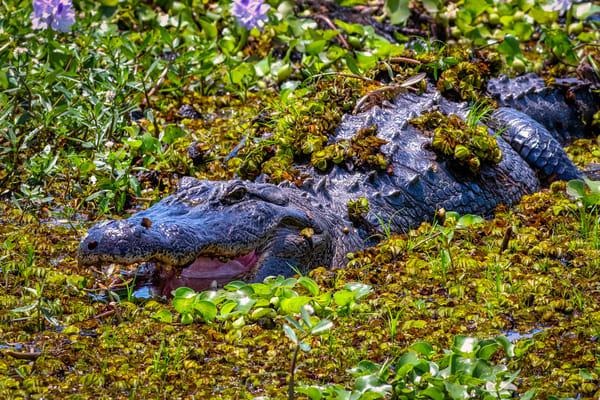 Alligator smile - Louisiana fine-art wildlife photography prints