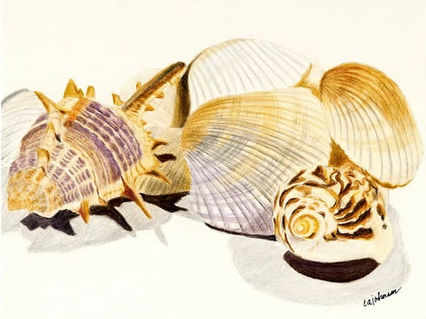 Shells - Framed Prints, From an Original Colored Pencil Painting
