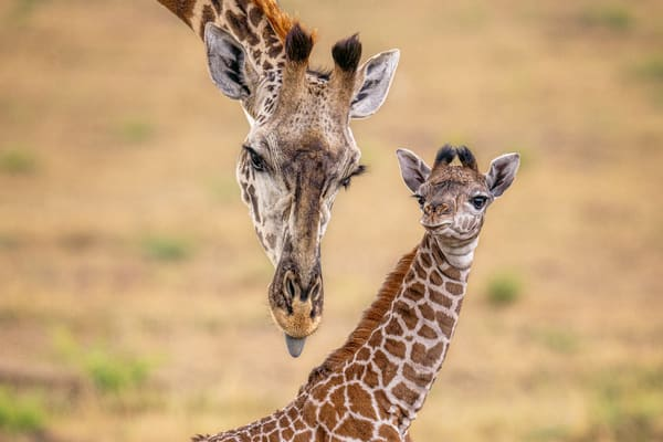 Newborn Giraffe V2 Photography Art | Carol Brooks Parker Fine Art Photography